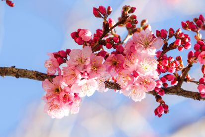 cherry-blossoms-656965